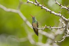 Free Buff-bellied Hummingbird Perched Stock Photo - 5188780