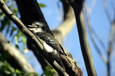 Free Kookaburra Stock Image - 5188961