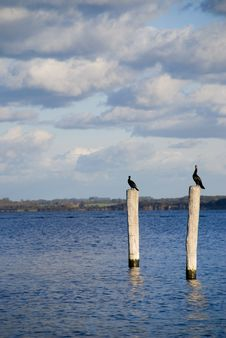 Free Two Kormoran Birds Royalty Free Stock Photography - 5189717