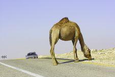 Free Camel In Judean Desert Stock Photo - 5189880