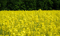 Free Rapeseed Royalty Free Stock Images - 5192179