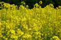 Free Rapeseed Stock Photos - 5192213