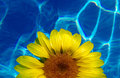 Free Sunflower Royalty Free Stock Photography - 5197547