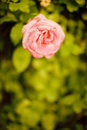 Free Pink Rose Royalty Free Stock Image - 5197826