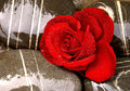 Free Beautiful Red Rose Stock Photography - 5199552