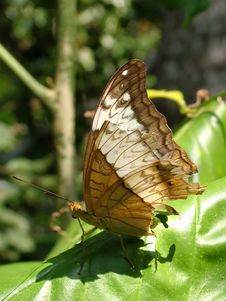 Butterfly (Parthenos Sylvia Ssp.)