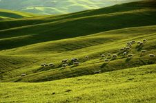 Free Sheep In Tuscany Stock Photos - 5190063
