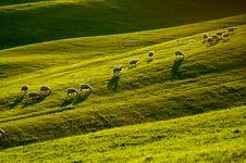 Free Sheep In Tuscany Stock Photo - 5190150