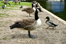 Geese And Ducks Stock Images