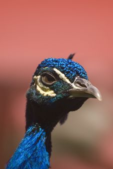 Free Indian Blue Peacock (Pavo Cristatus) Royalty Free Stock Photo - 5190895