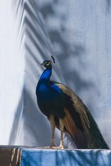 Free Indian Blue Peacock (Pavo Cristatus) Stock Photography - 5190902