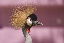 Free Grey Crowned Crane (Close-up) Royalty Free Stock Image - 5190956