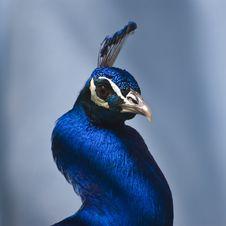 Free Indian Blue Peacock (Pavo Cristatus) Royalty Free Stock Photos - 5190958