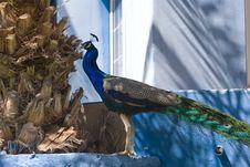 Free Indian Blue Peacock (Pavo Cristatus) Stock Image - 5190961