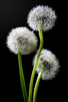Free Dandelions Royalty Free Stock Image - 5191146