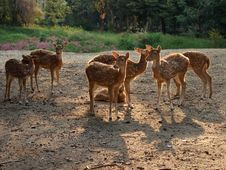 Deer In The Morning Royalty Free Stock Photo