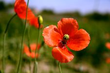 Free Red Poppie Royalty Free Stock Images - 5191599