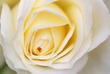 Free Creamy White Rose Close-up Shot Stock Images - 5191634