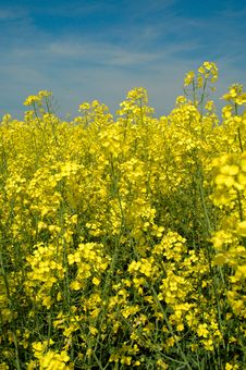 Rapeseeds - GMO Stock Images