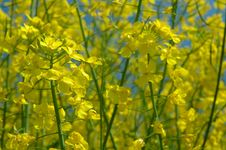 Detail Of Rapeseeds - GMO Stock Photo