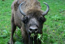 Free Bison Stock Image - 5192131