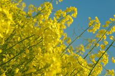 Detail Of Rapeseeds - GMO Royalty Free Stock Photography