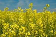 Rapeseed And Blue Sky Stock Images