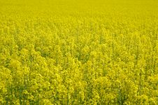 Detail Of Rapeseeds - GMO Royalty Free Stock Image