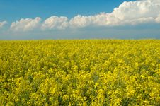 Rapeseed And Blue Sky Royalty Free Stock Photography