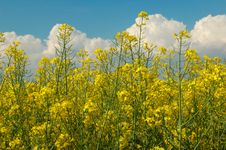 Rapeseed And Blue Sky Stock Image