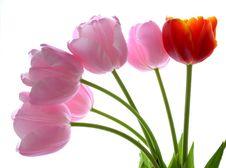 Free Beautiful Tulips Royalty Free Stock Photo - 5192435