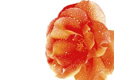 Free Beautiful Rose Royalty Free Stock Photography - 5192507