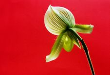 Orchid In Red Royalty Free Stock Photo