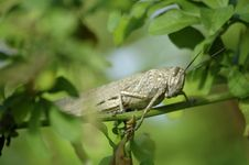 Free Locust Stock Photos - 5192983
