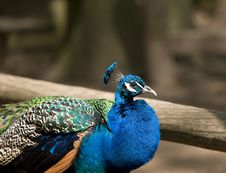 Free Peacock Royalty Free Stock Image - 5193196