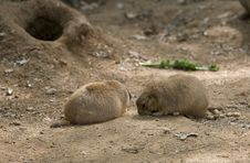 Free Prairie Dog Royalty Free Stock Images - 5193449