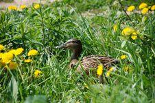 Free Duck In Dandelions Stock Images - 5194474