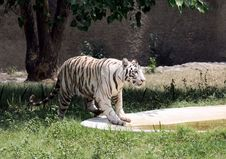 Free White Tigress Royalty Free Stock Photos - 5194578