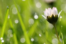Free Daisy And Grass Stalk Royalty Free Stock Images - 5195189