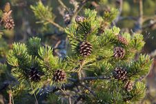 Free Young Pine Closeup Royalty Free Stock Photo - 5195565