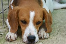 Free Tired Beagle Royalty Free Stock Images - 5195569