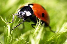 Free Ladybug Stock Photos - 5195573