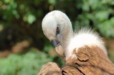 Free Gyps Vulture (Gyps Fulvus) Stock Photography - 5195672