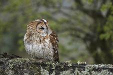 Free Tawny Owl Royalty Free Stock Image - 5195786