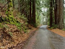 Free Road Through The Redwoods Royalty Free Stock Photos - 5196198