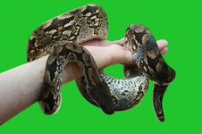 Free Constrictor Royalty Free Stock Photography - 5196397