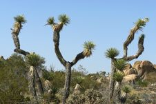 Free Joshua Tree Dance Stock Photography - 5197002