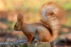Free Red Squirrel On Tree Stub Stock Image - 5197111