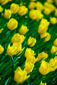 Free Fresh Tulips Stock Photography - 5197332
