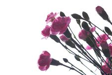 Free Pink Carnations Royalty Free Stock Photos - 5197348